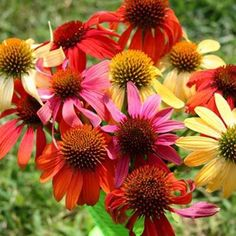 Echinacea Cheyenne Spirit Mix - This All America Selections award winning echinacea mixture captures the hearts and attention of garden lovers as they browse through retail garden displays next spring! For the first time, a mixture of brilliant color in this genus is available from seed, featuring plants in those sought-after shades of red, orange, purple, scarlet, cream, yellow and white. #gardentrends #flowers #perennials