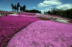 Shibazakura Flower | ひつじやまこうえん | Japan