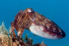 A Hooded Cuttlefish on a coral reef photo