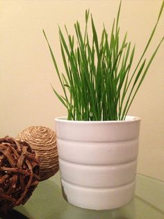 Grow Your Own Wheat Grass Kit by 3GreenGals on Etsy, $12.00