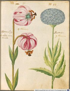Hortulus Monheimensis, 1615. South of Germany. Bayerische Staatsbibliothek