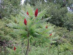 sumacs rhus | Staghorn Sumac (Rhus typhina) - Flowering Trees, Bushes and Shrubs of ...