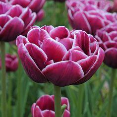 'Dream Touch' ist eine wunderschöne neue gefüllte Tulpe mit einem leuchtend weißen Rand. Eine Tulpe mit dem Wow-Effekt. Pflanzzeit ist im Herbst - online erhältlich bei www.fluwel.de