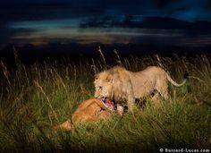 Leão masculino Mate