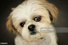 Shih Tzu Stock Photos and Pictures | Getty Images