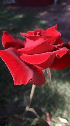 Beautiful Red Roses, Beautiful Things, Photo Graphy, Planting Flowers, Lily, Nature, Plants, Best Flowers, Good Morning Greetings