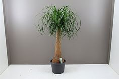 Indoor Palm Trees, Large Indoor Plants, Indoor Palms, Small Plants, Green Plants, Ponytail Palm Tree, Easy Care Plants, Gardening Zones, Cool Gifts For Women