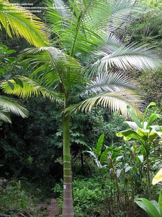 "Archontophoenix tuckeri .. King Palm, Peach Creek Palm 'Peach River', ""Rocky River Palm"""