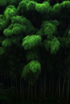 Bamboo forest, Tenkawa, Japan