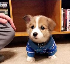 pretty dogs detail are offered on our web pages. Have a look and you wont be sorry you did. Cute Corgi Puppy, Corgi Dog, Cute Puppies, Pet Dogs, Lab Puppies, Puppies Tips, Wiener Dogs, Teacup Puppies, Dachshund Puppies