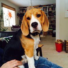 Lap dog #beagles