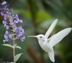 Rare albino Ruby-throated Hummingbird Winging it: The gorgeous albino birds are particularly vulnerable because of their lack of camouflage and weakened pale feathers Pretty Birds, Love Birds, Beautiful Birds, Animals Beautiful, Animals Amazing, Pretty Animals, Rare Animals, Unique Animals, Strange Animals