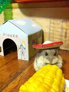"""""""Digger""""... a dwarf hamster. That """"baby owl"""" picture that circulates grew into one of these little guys. ;-)"""