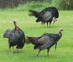 birds+of+michigan+in+summer | ... wild turkey pictures. Above, the older bird keeps the younger in check