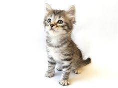 Hypoallergenic Cats | Siberian Cat Breeders | KITTENS LITTER C