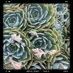 Echeveria secunda aka Hen & Chicks