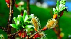 Cum se prepara Apa de salcie buna pentru inradacinarea plantelor Home And Garden, Gardening, Cottages, Plant, Lawn And Garden, Cabins, Country Homes, Cottage, Horticulture