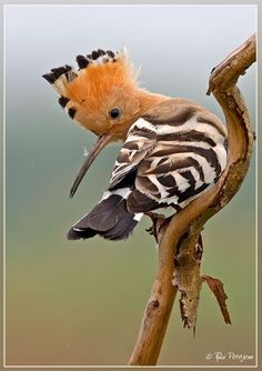 Hoopoe (Hop - Upupa epops - Hoopoe) is a colourful bird that is found across Afro-Eurasia, notable for its distinctive 'crown' of feathers. Rudi Petitjean Wildlife Photographer