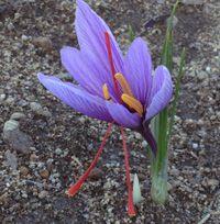 Pur Safran - La culture du safran pour la beauté de cette fleur d'octobre et pour tenter de cueillir quelques stigmates de leurs pistils pour les cuisiner. Culture Du Safran, Saffron Plant, Nature, Flowers, Plants, Images, Gardening, Art, Gardens