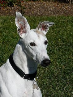 Midwest Greyhound Adoption - MGA