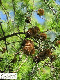 Lärchen Zweige mit Lärchenzapfen Fruit, Plants, Branches, Woodland Forest, Nature, Flowers, Plant, Planets