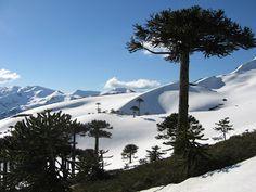 Parque Nacional Conguillio, Chile. Araucaria trees.