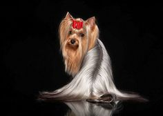 Yorkies are truly beautiful when groomed like this one....  Click on this image to find more adorable #Yorkie pictures