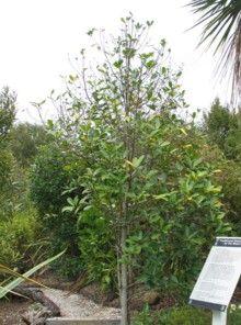 Karaka, Corynocarpus laevigatus