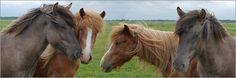 poster Horses,  Icelanders
