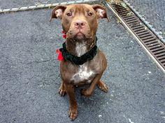 TO BE DESTROYED - 09/28/14  Manhattan Center -P  ***$150 DONATION to NEW HOPE RESCUE that pulls!!***   My name is BELLE. My Animal ID # is A0988462.  I am a spayed female brown pit bull mix. The shelter thinks I am about 1 YEAR 6 MONTHS old.   I came in the shelter as a RETURN on 09/15/2014 from NY 10459, owner surrender reason stated was OWNER SICK.