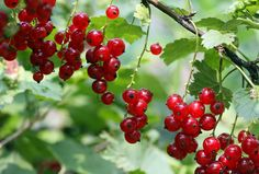 currants | For years, currants were banned because they carr… | Flickr