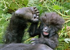Rwanda mountain gorillas...love this picture!