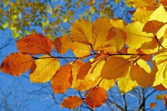 Free Image on Pixabay - Foliage, Beech, Leaves, Fall Deadheading Roses, Free Photos, Free Images, Bath And Beyond Coupon, Fall Family, Autumn Home, Holidays And Events, Organic Gardening, Autumn Leaves