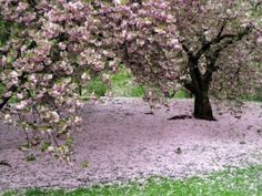 Cherry Tree Blossoms Spring in Central Park by herminia; http://indulgy.com/post/y97NUHE4X1/enid-a-haupt-gardenwashington-dccherry-blossom#
