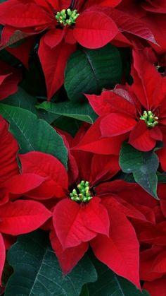 Poinsettia Plant, Christmas Poinsettia, Christmas Flowers, Christmas Scenes, Christmas Pictures, Christmas Colors, Christmas Art, Christmas Decorations, Red Flowers