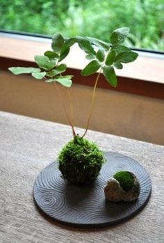 すっと伸びた茎と、苔の瑞々しさが涼しげな「ヤシャゼンマイの苔玉」。  ヤシャゼンマイはシダ植物。 新芽の時は、クルッと渦を巻きます。    苔玉作家の「湯川のりこ」さんの作品。