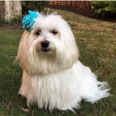 """Who's ready to find out the last #fashionablepupfriday is September?! Well the honor goes to this beautiful girl, Lola. Lola is a one year old Havanese who just so happens to know how to rock her accessories. According to her mom Lola loves to be outside and have her belly rubbed. She also loves cheese, apples and a good game of chase. Here Lola is sporting her """"Secret Garden"""" bow, doesn't she look amazing?! 💙 #snapindogbows #dogbow #dogbows #bowsfordogs #doghairbow #dogbowtie #dogbowties…"""