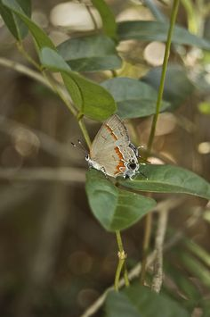 "Why Eyespots? The Better to Scare Spiders (picture is of a Red-banded hairstreak butterfly with its ""false head"")"