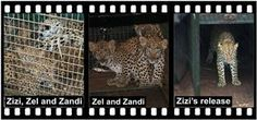 Home of Leopard.tv Wildlife Magazine, Shayamanzi wildlife ranch and wildlife music Two Daughters, Leopards, Mystery, Articles, Tv, Animals, Animales, Animaux, Television Set