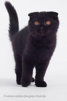 Scottish Fold und BKH Kitten - #scottishfoldkittens -Tops Scottish Fold Cat Breeds at Catsincare.com!