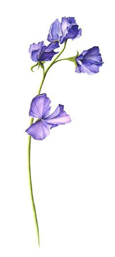 April Birth Flower - Sweet Pea More