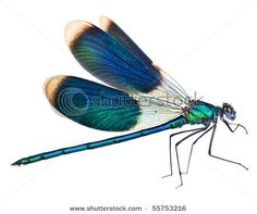 Peacock-winged dragonfly