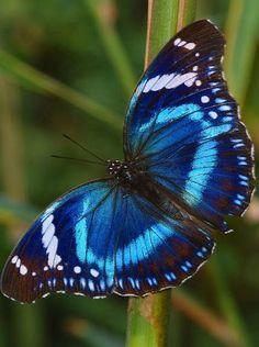 """Tanzanian Diadem (Hypolimnas antevorta)Edyta . Motyl: motyl to symbol spełnienia magii i pomyślności, jako że motyle """"nie rodzą"""" się, ale przeobrażają się czy też przekształcają z jednej istoty w drugą. Ich los i energia mogą być zmienione w dobrą fortunę. Jeden z moich ulubionych wisiorków to srebrny motyl z pentagramem w środku. Przeobrażenie, pomyślność i magia – wszystkie zawarte w jednym pięknym wisiorku."""