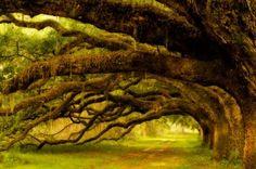 Coastal Oak Trees in South Carolina