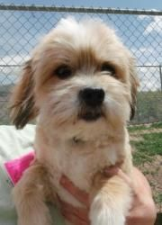 Ellis, 71634 is an adoptable Lhasa Apso Dog in Pocatello, ID. Ellis is a sweet litte guy looking for a loving family to take hime home.  He is  5 yr old. Our adoption fee of $105.00 + tax. Adoption fe...
