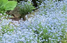 "Myosotis Alpestris ""Blue""  This plant is a wonderful addition to the spring shade garden. Blooms for up to 6 weeks. Fall is a great time to plant! Get 20% if you order $50 or more! Visit: https://www.etsy.com/listing/249882389/forget-me-not-myosotis-alpestris-blue?ref=shop_home_active_1"