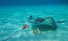 Stingray and conch at #StingrayCity in #GrandCayman