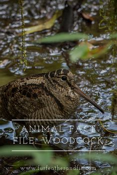 The Eurasian woodcock is considered one of the most challenging birds to shoot, but how much do you Animal Fact File, Animal Facts For Kids, Like Animals, Animals For Kids, Animals Information, Migratory Birds, Did You Know, Wildlife, Extinct Animals