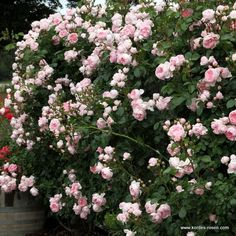 KORDES Roses Cinderella ® - Garden Roses The most beautiful roses in the world