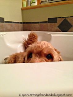You can't see me! #Goldendoodle